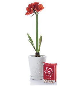 Red Amaryllis Bulb from Crate & Barrel. $14.95. http://www.crateandbarrel.com/amaryllis-red-bulb/s129740
